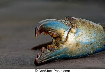 Blue Claw Crab - Claw from a Blue Claw Crab looks ready for...