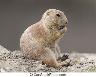 Black-tailed prairie dog (Cynomys ludovicianus) in it's...