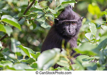 Young Celebes crested Macaque in a tree