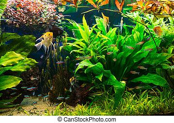 plantas, Peixes, cheio, aquário