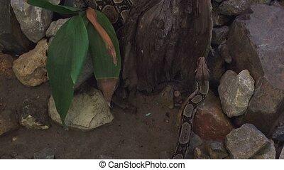 African python snake crawling - Python sebae, african python...
