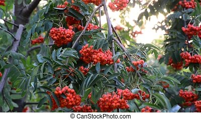 Rowan berries in summer sunset - Rowan berries in a summer...