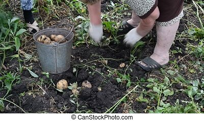 woman with a shovel digs up potatoes