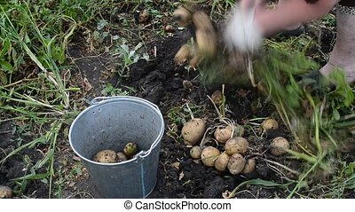 Woman pours harvest potatoes in wheelbarrow - Woman pours...