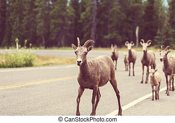 Goat in Canada - Rocky Mountain Big-Horned Sheep, Banff...