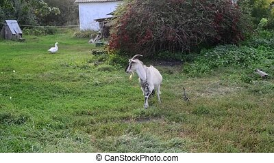 Goat on leash in the Russian village - Goat on a leash in...
