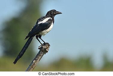 Magpie bird - Pica pica