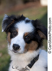 Australian Shepard - Stock photo of an Australian Shepard...