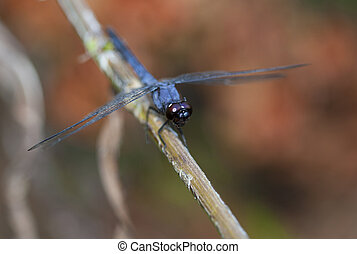 Blue dragonfly that is sitting on a twig