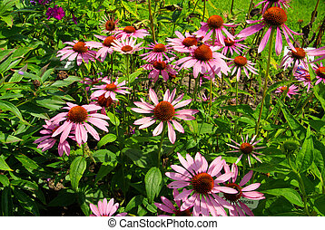 Purple Coneflower 22