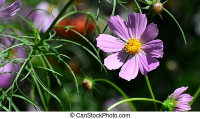bumble bee pollinating a flower Cosmos - A bumble bee...