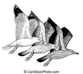 Herring Gull - Larus argentatus - adult, winter, juvenile