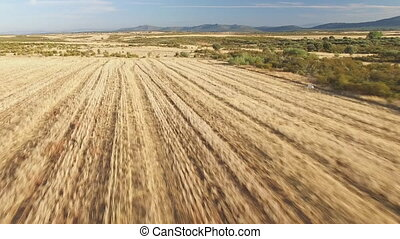 Aerial view of pointer pedigree dog running on stubble -...