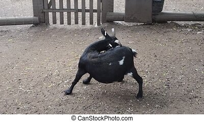 Black goat scratching itself at farm backyard, country...