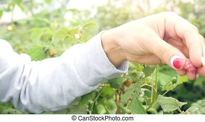 Young woman picking raspberry, eats it , enjoying and smiles...