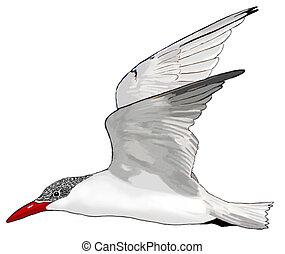 Caspian Tern - Hydroprogne caspia
