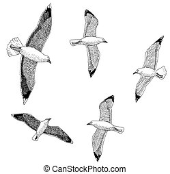 Herring and Great Black-backed Gulls - Herring Greater...