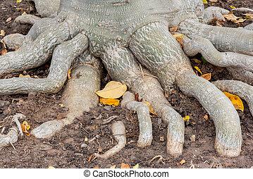 radice, di, Adenium, obesum, albero, o, Deserto, rosa, in,...