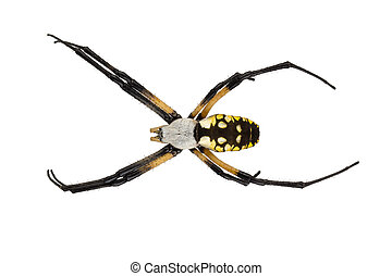 Female black and yellow garden spider on white - Close up of...