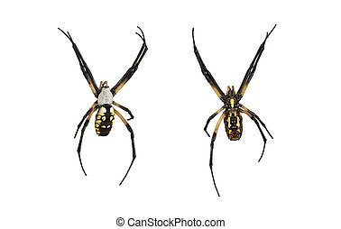 Female orb spider top and bottom - Argiope, an orb-weaver...