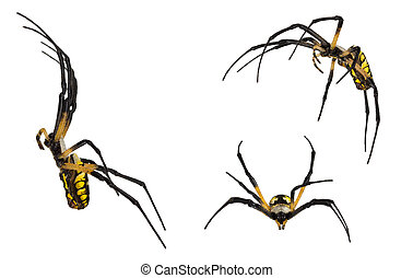Black and yellow spider on white - Argiope, an orb-weaver...