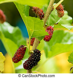 Mulberry fruits in nature backgrounds.