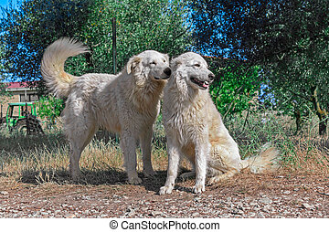 Photograph of two dogs from farm - Two brothers of maremma...