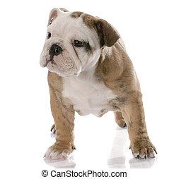 nine week old female english bulldog puppy with reflection on white background