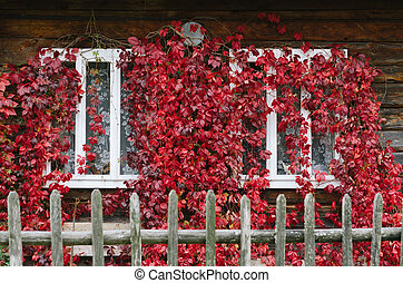 Wild grapes on the windows of the house - Autumn time. Red...