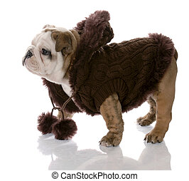 dog wearing brown sweater - english bulldog female - nine weeks old