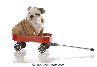 puppy travelling in a red wagon
