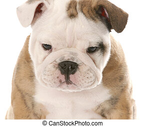 nine week old female english bulldog puppy on white...