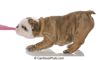 puppy tugging - nine week old english bulldog puppy tugging...