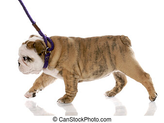 nine week old english bulldog puppy walking on a leash