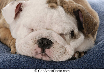 nine week old english bulldog puppy sleeping on blue blanket