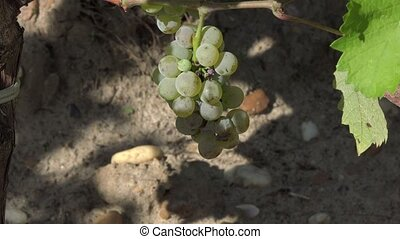 Sauvignon grape at perfect ripeness - the grapes are ready...