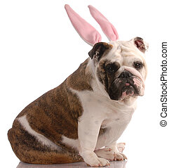 english bulldog wearing pink rabbit ears with reflection on white background