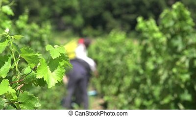 manual harvesting - Grape pickers at work in this Unfocused...