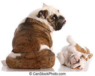 two english bulldogs stretching to look at the viewer