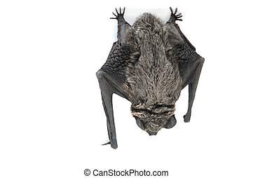 Bat - bat hanging upside down - isolated on white background