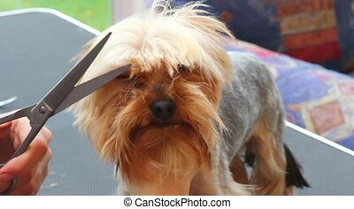 Closeup footage of grooming of the Yorkshire Terrier -...