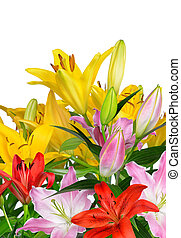 Colorful lily flowers on white background