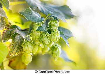 Common hop cones, ripe for picking and used as raw material...