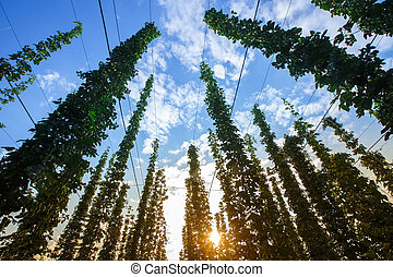 Common hop against blue sky, lit by sunlight - Common hop...