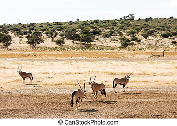 Four Gemsbuck grazing in the Kalahari
