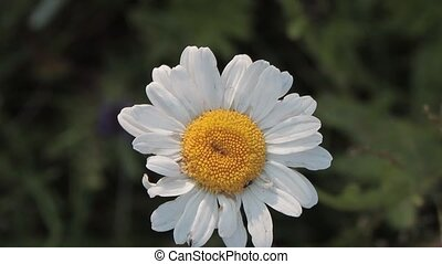 Daisy flower  - white Daisy flower in altai