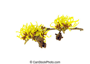 Hamamelis isolated 13