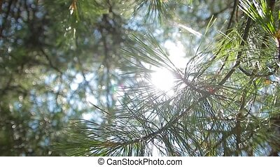 Sun glows through the pine forest - solar flare of carer the...