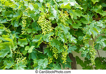 Green Muscat Ottonel grape clusters in vineyard