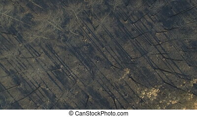 Burnt pine tree forest, zenithal view, aerial view, 4K - Top...